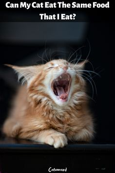 Maine Coon Cat Utah Wallpaper Added on , Tagged : Maine Coon Cat Utah, at Cute Kittens Pictures Cat Nutrition, Nutrition Guide, Kittens Cutest, Cats And Kittens, Funny Pictures Of Women, Get Gift Cards, Maine Coon Kittens, Picture Sharing, Cat Facts