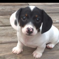 Adorable piebald mini dachshund, not to be confused with the dapple dachshund. Mini Dachshund, Dachshund Puppies, Cute Puppies, Cute Dogs, Dogs And Puppies, Piebald Dachshund, Daschund, Baby Animals, Cute Animals