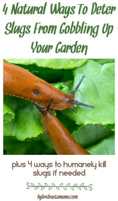 Slugs in the garden are typically considered an unwanted pests. Learn the most effective and natural ways to deter slugs from gobbling up your garden. Need a more permanent solution? See how to humanely kill slugs in garden areas as well from HybridRastaMama.com. via @hybridrastamama