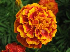 Calendula benefits for the health are huge. One of the best reasons to keep calendula handy is due to its healing abilities. If you apply calendula flower. Daisy Scouts, Girl Scouts, Zinnias, Daffodils, October Birth Flowers, Marigold Flower, Marigold Tattoo, Calendula Benefits, Flower Meanings