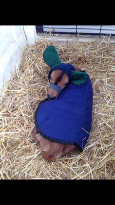 Calf blankets