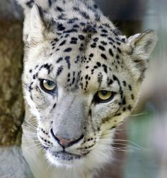Snow Leopard by Steve - 1.4 Million+ (safe) views - thank you, via Flickr