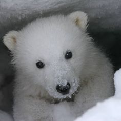 Polar Bears International, Baby Otters, Cute Bears, Baby Bears, Bear Cubs, African Elephant, Animal Wallpaper, New Puppy, Cute Baby Animals
