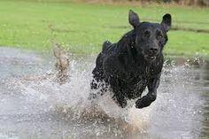 tierfotos tipps - Google-Suche Tier Fotos, Labrador Retriever, Dogs, Animals, Google, Inspiration, Animales, Searching, Labrador Retrievers