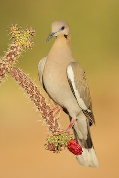 The White-winged Dove - Zenaida asiatica, is a dove whose native range extends from the south western USA through Mexico, Central America, and the Caribbean.  Tringa Photography.