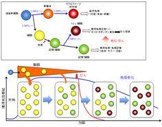 湊長博 医学研究科教授らの研究グループは、加齢に伴って確実に増加する全く新しいT細胞集団の同定に成功し、
