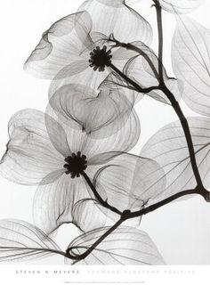 Dogwood Blossoms Positive Art Print by Steven N. Meyers at Art.com