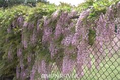 Wisteria along chain link fence.  The woody stems may grown into the fence but you may not care if you like the look long term