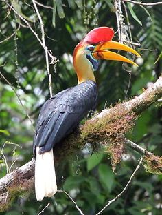 Knobbed Hornbill has a unique head, bill, casque & pouch. Endemic to Sulawesi where it can be seen at several sites.