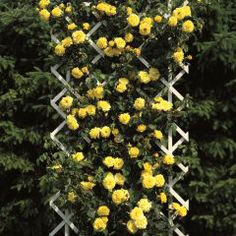 Goldstern Große, gefüllte, goldgelbe Blumen erscheinen in großer Anzahl den ganzen Sommer über. Die gute Verzweigung der Sorte sowie der gesunde Durchtrieb sorgen für diese langwährende Blühfreudigkeit. Goldstern® ist sehr winterhart.
