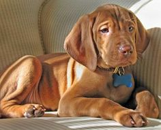 in love... vizsla puppy <3