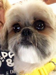 Meet Poppy, a Petfinder adoptable Shih Tzu Dog | Flushing, NY | Meet Poppy a 3 year old Shitzu saved from Philly ACCT. She is super friendly and has lots of spunk....