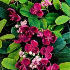 Ik vond dit op Beslist.nl: Akebia quinata (klimbes of schijnaugurk): semi wintergroen/groenblijvend (klimplanten / tuinplanten)}