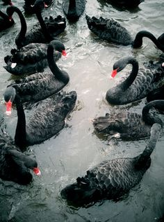 black swans with red beaks
