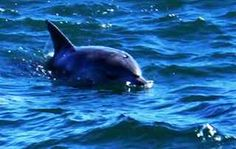 Dolphin in Plettenberg Bay waters. Under The Sea, Dolphins, South Africa, Whale, Places, Animals, Animales, Whales, Animaux