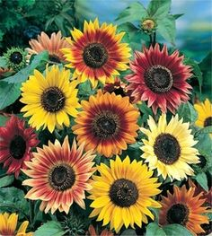 A stunning mixture of bright warm colored sunflowers. The Sunflower Autumn Beauty is a strong stemmed bloom that grows on tall branching plants producing an abundance of cut flowers for casual bouquets. Unusual colors vary from deep yellow to gold and from brick red to burgundy, as well as bicolor flowers with yellow on red or brown on yellow.