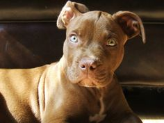 Puppy 3 Pitbulls, Puppies, Dogs, Animals, Animales, Puppys, Animaux, Pitt Bulls, Pet Dogs