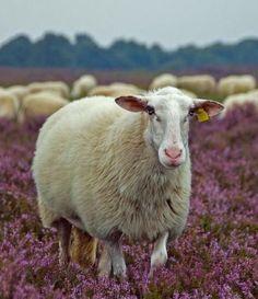 Sheep on the heather moors Sheep Farm, Sheep And Lamb, Alpacas, Farm Animals, Cute Animals, Baa Baa Black Sheep, Counting Sheep, The Good Shepherd, Down On The Farm