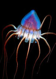 Deep sea jellyfish periphylla