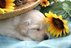 Do dogs dream? What does your dog dream about? Dogs are widely believed to be like humans in many things like having dreams, so is this true? Cute Puppies, Cute Dogs, Dogs And Puppies, Doggies, Baby Dogs, Funny Dogs, Baby Animals, Cute Animals, Animal Babies