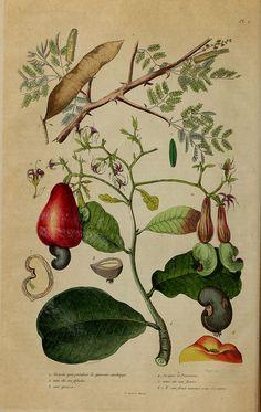vintage cashew plant botanical illustration