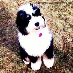 Copper a mini bernedoodle from Swissridge kennels.