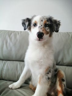 Animal aesthetic Aussie Shepherd, Blue Merle, Adorable Animals, Puppy Love, Doggies, Cute Dogs, Creatures, Happiness, Puppies