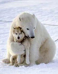 Comportamiento amistoso entre los perros y osos polares - Taringa!