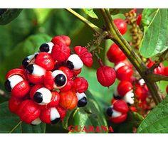 Guaraná, Paullinia Rubiginosa ,Guarani - frutalestropicales.com