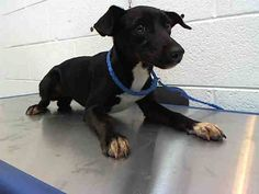 FL...CODE RED>>>EXTREMELY URGENT DOGS OF MIAMI, FL PLEASE REPIN TO HELP THEM BEFORE IT'S TOO LATE FAY (A1664275) I am a female black and white Rat Terrier mix. The shelter staff think I am about 6 months old. I was found as a stray and I am available for adoption. — at Miami Dade County Animal Services.