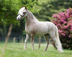 miniature horses | Similar Galleries: Miniature Horses For Sale , Baby Miniature Horses ,