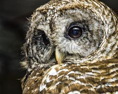 Close up of a barred owl in northern Michigan.