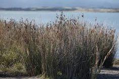Juncus krausii subsp. australiensis - Google Search Coastal, Herbs, Google Search, Plants, Herb, Plant, Planets, Medicinal Plants