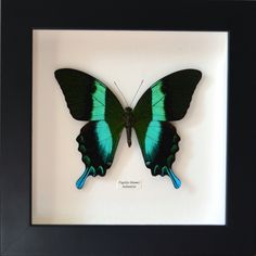 Papillon blumei naturalisé encadré par un professionnel : Décorations murales par papillon-ulysses