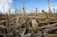The Midwestern Drought Is Slowing Down Growth—and Won't Stop