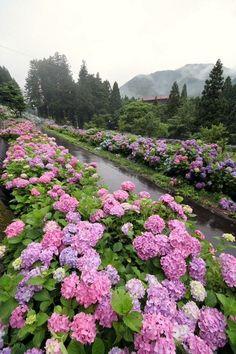 Wonderful Hydrangeas