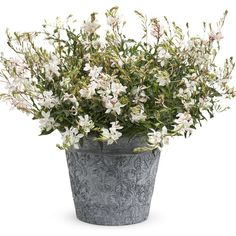 Proven Winners - Stratosphere™ White - Butterfly Flower - Gaura lindheimeri white plant details, information and resources. White Butterfly, Butterfly Flowers, Colorful Flowers, White Flowers, Wholesale Plants, Pleasant View, White Plants, Patio Planters, Proven Winners