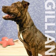 Gillian is a 6 month old female terrier/pit bull mix. She is a sweet playful puppy who needs a home. Meet her at 184 Verona St.