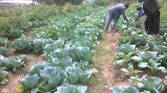 WATER EFFICIENT VEGETABLE FARMING FOR CLIMATE CHANGE RESILIENCE IN ARID AND SEMI ARID AREAS