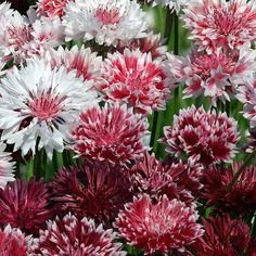Bachelor's Button Classic Romantic's 2 inch pink to carmine red flowers.