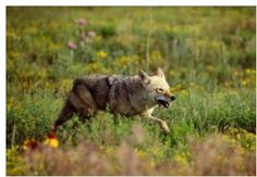 How to Keep Coyotes Away!  Coyote Exclusions, Deterrents and Repellents | Peak Prosperity
