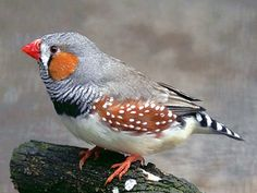 Zebra Finch (Taeniopygia gutatta castanotis) AKA: Chestnut-eared Finch. Most popular of all finches as a cage bird.