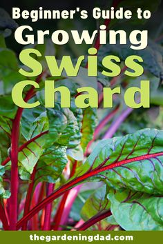 Learn How to Easily Grow Swiss Chard indoors, and in your garden with these beginner tips, tricks, and ideas!  There is something for everyone in this Beginner's Guide to Growing Swiss Chard! #swisschard #vegetables #gardening