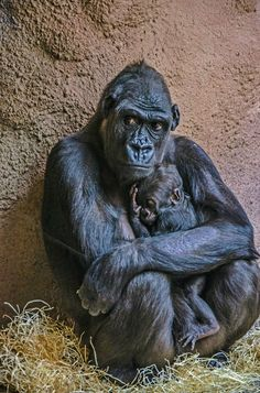 Gorilla love #animallovers #gorilla #gorillafans #animals