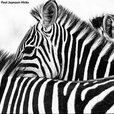 We have an amazing photographic safari coming up in the Serengeti next year. The safari will be led by the talented Paul Joynson-Hicks Wildlife Photography, Travel Photography, Dar Es Salaam, Tanzania, East Coast, Safari, Africa, The Incredibles, Black And White