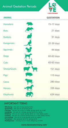 Animal Gestation Periods