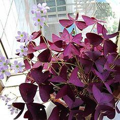 2 pcs Red Oxalis Wood sorrel Flower Oxalis Purple Shamrock Clover 100% Real - Perennial Seeds