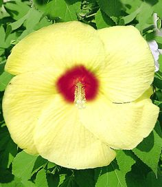 "Flemings Old Yella Perennial Hibiscus Plant - 4"""" Pot"