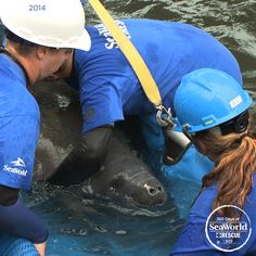 This lucky manatee was rescued, rehabilitated and returned to Blue Springs State Park by SeaWorld's passionate animal care team. #365DaysOfRescue