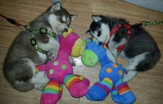 Huskies and their toys